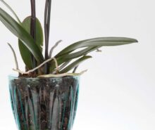 orkide saksı çeşitleri