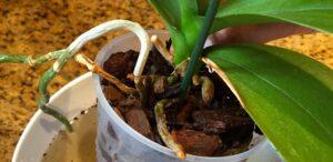 kuruyan orkide nasıl canlandırılır