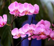 orkide sembolü