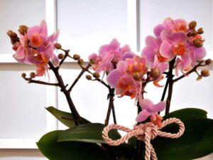 orkide çiçekleri neden dökülür