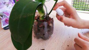 orkide köklendirme