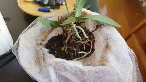 orkide kökleri çürüdü