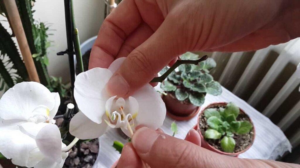 orkide çoğaltma