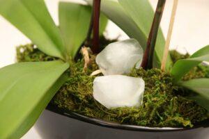 orkide için su