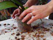orkide toprağı nasıl değiştirilir