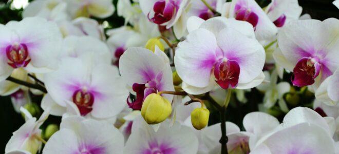orkide türü