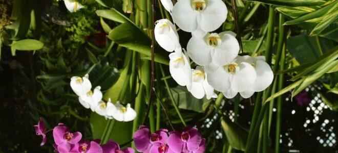 phalaenopsis orkide