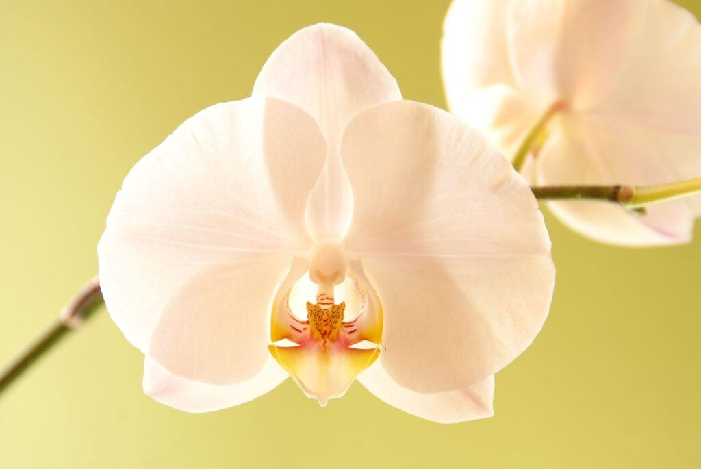 sarıya orkide yaprağı