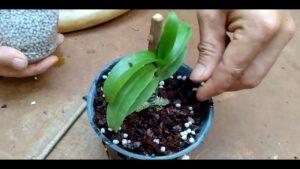 tohumdan orkide nasıl yetişir