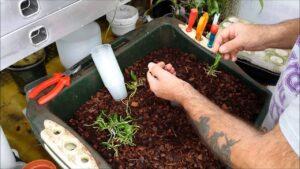 okideyi tohumdan yetiştirme