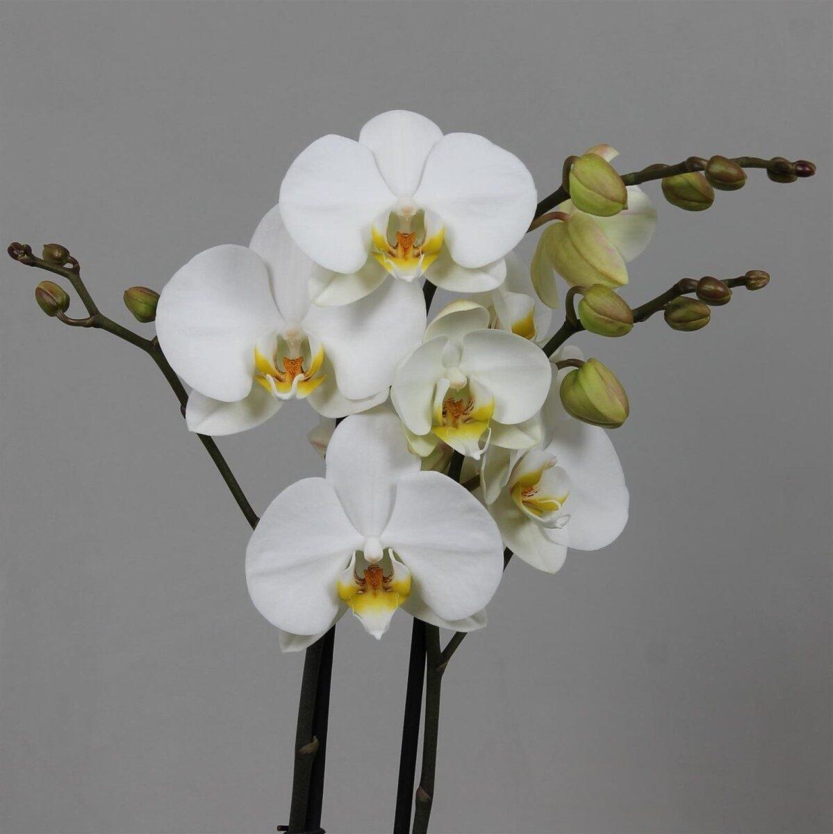 Beyaz orkide çiçeği nasıl yetişir?